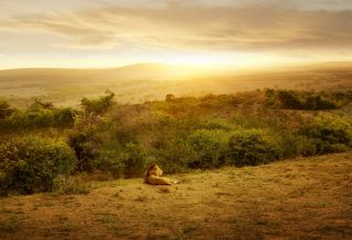 Sunset with Lion, South Africa